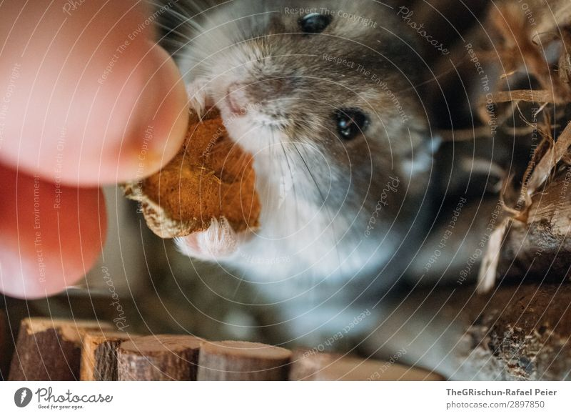 hamsters Animal Pet 1 Gray Black Silver Hamster Rodent Eating Feet Eyes Hand Stop Appetite Cute Caress Colour photo Deserted Blur Animal portrait