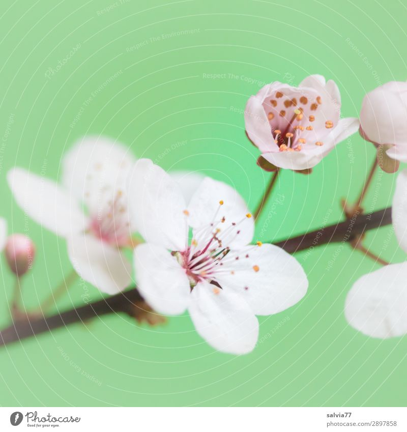 cherry blossoms Harmonious Well-being Senses Fragrance Mother's Day Nature Plant Spring Blossom Twig Cherry blossom Garden Blossoming Fresh Positive Green White