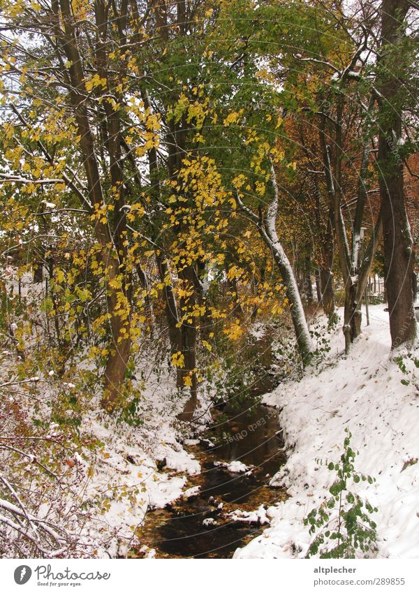 Snow in autumn Nature Plant Autumn Weather Tree Leaf Brook Brown Yellow Gray Green White Cold Deciduous tree Colour photo Exterior shot Deserted Morning