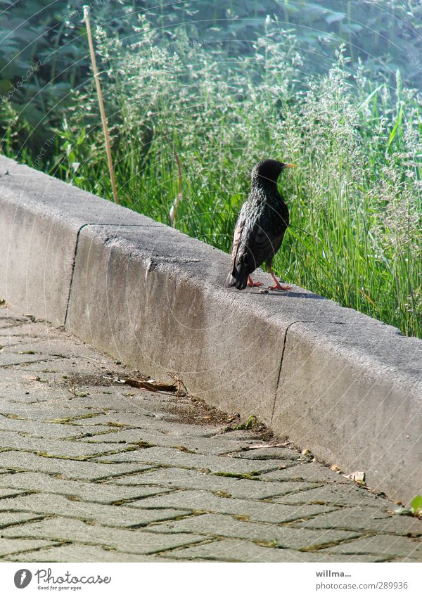 Meadow Grass Lanes & trails Stone Bird Observe Footpath Sidewalk Tilt Fame Curbside Starling Airs and graces One animal