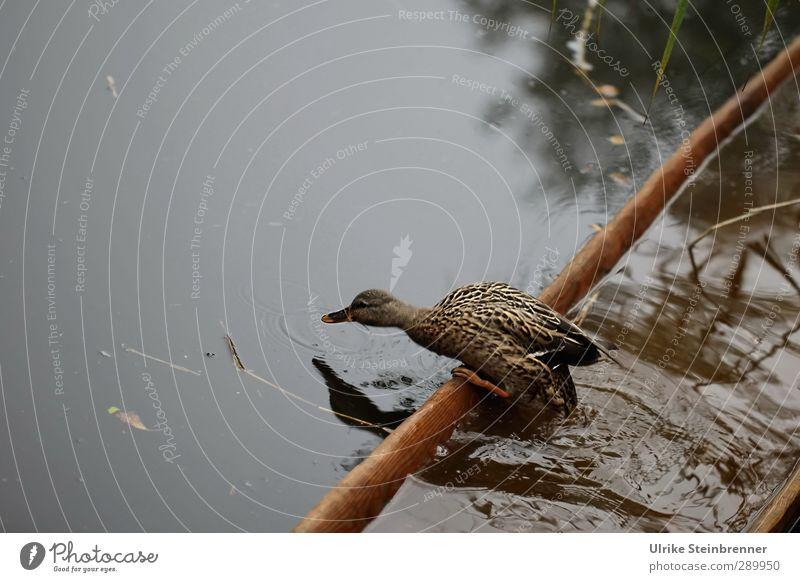 Nature Animal Autumn Lake Brown Watercraft Natural Going Wild animal Fog Stand Wet Speed Feather Observe Common Reed