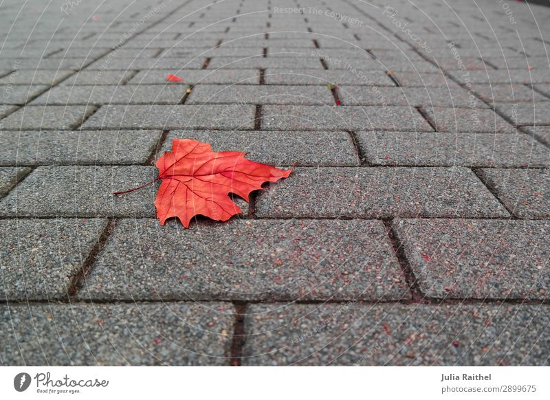 Lonely leaf Nature Plant Autumn Leaf Stone Under Gray Red Colour photo Multicoloured Exterior shot Close-up Detail Structures and shapes Deserted Copy Space top