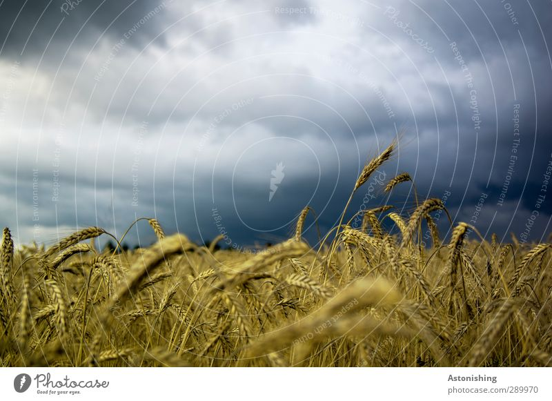 Sky Nature Blue White Plant Clouds Landscape Black Forest Yellow Environment Air Weather Field Gold Agriculture