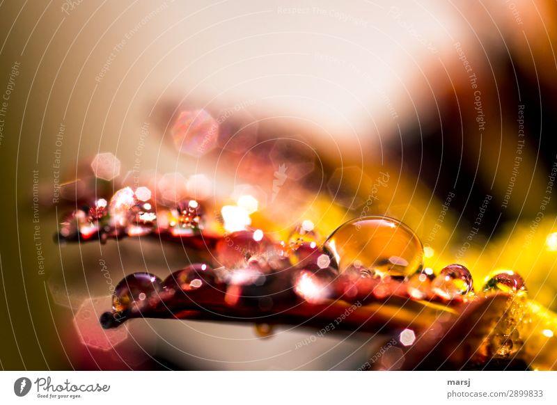 Blossom Spring Natural Illuminate Glittering Drops of water Wet Warm light Chrysanthemum Warm colour