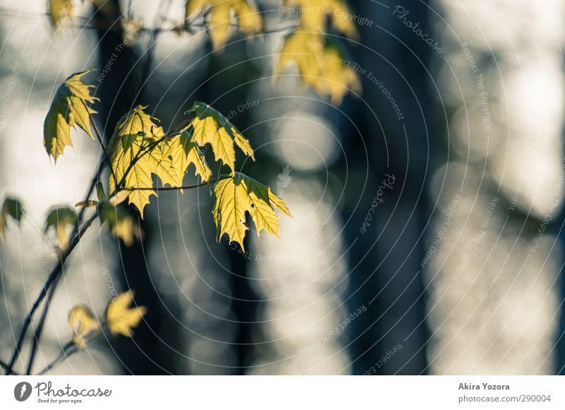 Nature Green White Plant Black Autumn Illuminate Maple leaf Maple tree