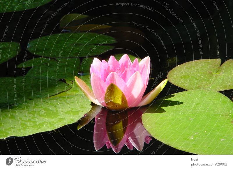 searosis Rose Water lily Pond Blossom