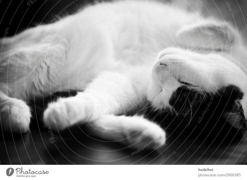 SLEEP CAP Animal Pet Cat 1 Relaxation Lie Sleep Fantastic Healthy Glittering Happy Beautiful Cute Clean Feminine Soft Black White Contentment Trust