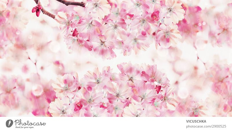 Spring nature background with pink blossom of cherry trees Design Garden Nature Sunlight Bad weather Flower Leaf Blossom Park Flag Pink White Background picture