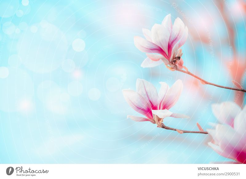 Spring nature background with magnolia flowers Lifestyle Design Nature Plant Beautiful weather Flower Blossom Garden Park Blue Pink White Background picture