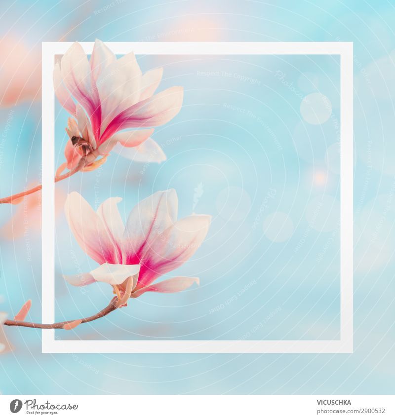 White frame with magnolia flowers Style Design Summer Garden Nature Plant Spring Flower Bushes Leaf Blossom Park Blossoming Pink Background picture