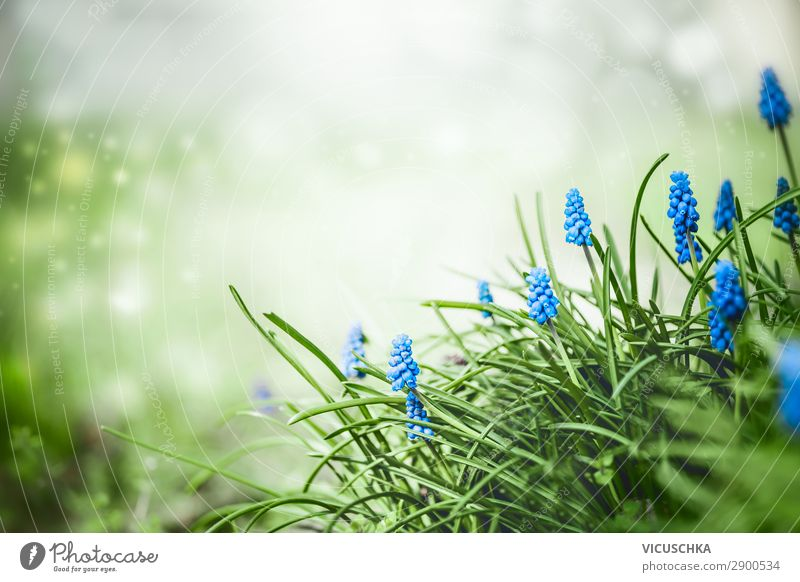 Pretty grape hyacinths flowers in the grass Style Summer Garden Nature Plant Spring Flower Park Design Background picture Muscari Hyacinthus Close-up