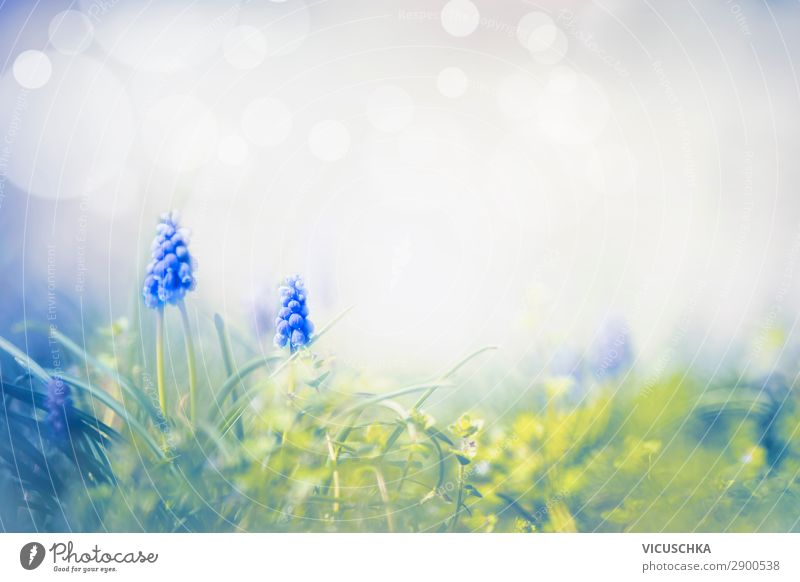 Spring nature with wild grape hyacinths Design Summer Garden Nature Plant Flower Park Meadow Blossoming Background picture Muscari Hyacinthus Spring fever