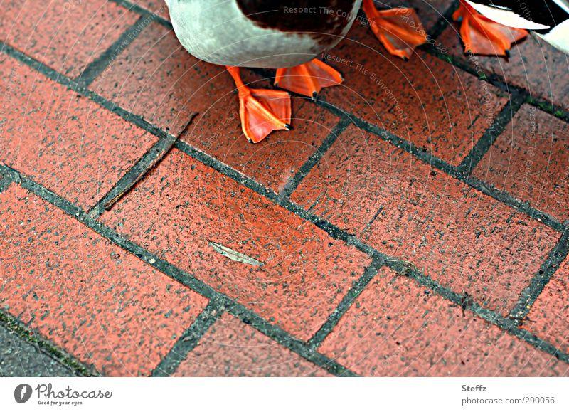 Nature Animal Environment Eating Bird Going Orange Pair of animals Stand Animal foot Wait Footpath Sidewalk Duck Paving stone In transit