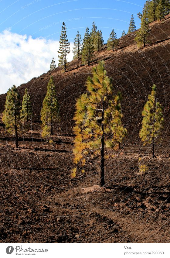 """Pines """"forest"""" Nature Landscape Plant Earth Sky Clouds Beautiful weather Tree Forest Hill Tenerife Brown Green Slope Colour photo Multicoloured Exterior shot"""