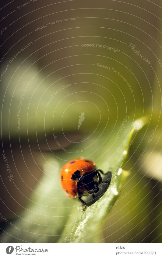 Luck for everyone Plant Animal Summer Leaf Wild animal Beetle Ladybird 1 Crawl Happy Small Natural Yellow Green Orange Black Colour photo Close-up