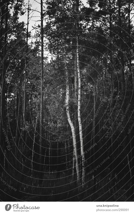 \| Environment Nature Landscape Tree Tree trunk Birch tree Forest Stand Growth Dark Natural Geometry Black & white photo Exterior shot Deserted