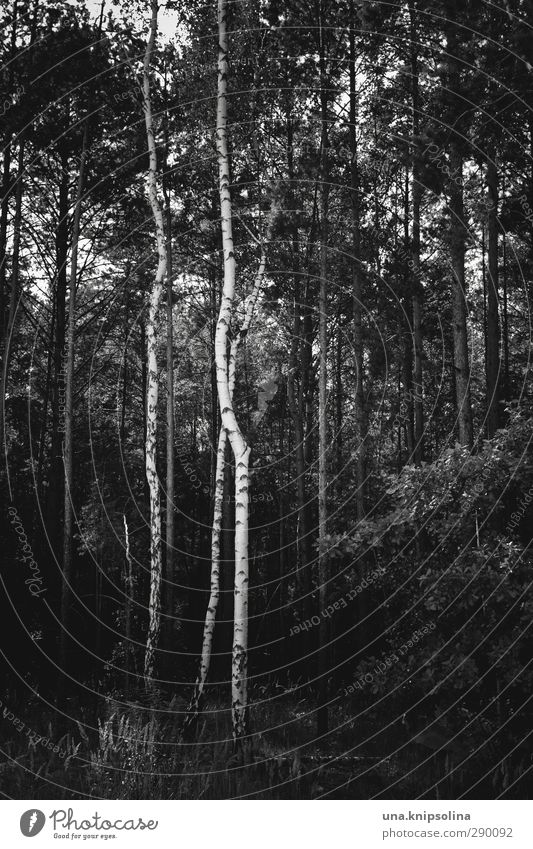 IX Environment Nature Landscape Tree Tree trunk Birch tree Forest Stand Growth Dark Natural Geometry Black & white photo Exterior shot Deserted