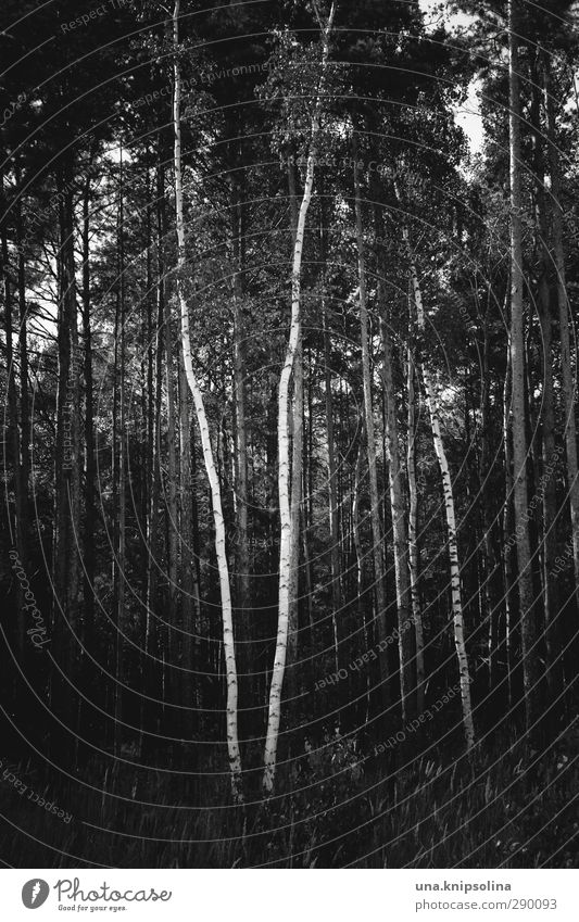 \/ Nature Landscape Tree Tree trunk Birch tree Forest Stand Growth Dark Natural Geometry Black & white photo Exterior shot Deserted Central perspective
