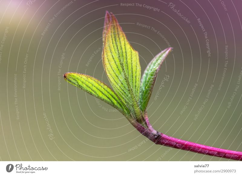 hope Environment Nature Plant Spring Leaf Twig Leaf bud Dogwood Garden Park Growth Fresh Natural Green Pink Beginning Hope Change Sprout Delicate Colour photo