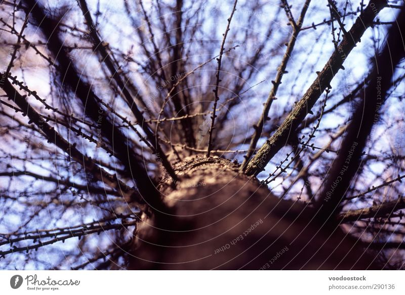 Abstract Pine Tree Nature Forest Wood Old Growth Brown Death branches Blue Tree trunk Branchage split Divide Upward Colour photo Exterior shot Deserted Light