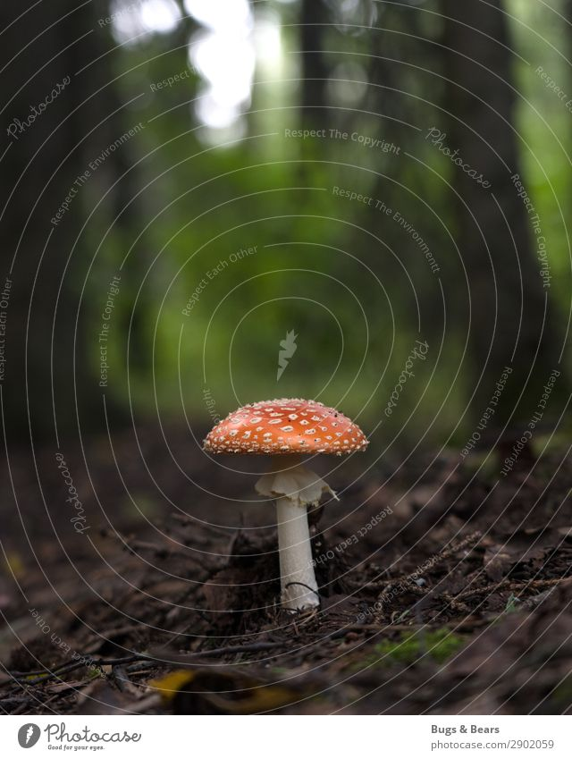 Who's standing there in the woods? Nature Landscape Plant Forest Esthetic Mushroom Mushroom cap Amanita mushroom Poison Inedible Dangerous Woodground Ground