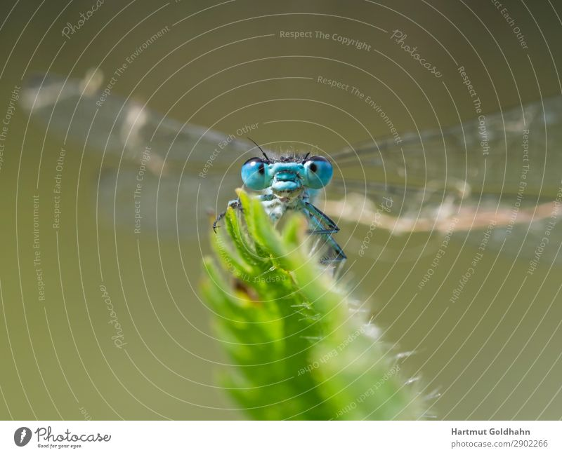 Front view of a small blue dragonfly. Animal Wild animal Dragonfly 1 Sit Natural Blue Nature Insect Wing Eyes Close-up Plant Part of the plant Small dragonfly