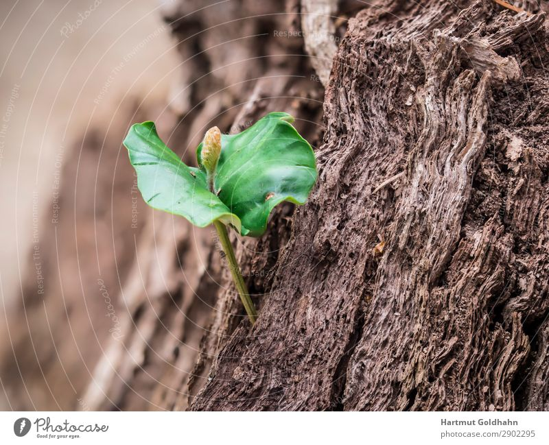A small seedling of the copper beech. Nature Plant Spring Tree Beech tree Copper beech Growth Green Germ Shoot Leaf Part of the plant Tree stump Seasons Forest