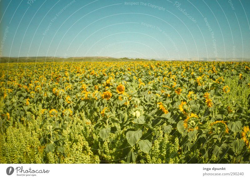 solar field Environment Landscape Plant Summer Beautiful weather Agricultural crop Agriculture Sunflower Field Crops Sunflower field Israel Esthetic Energy