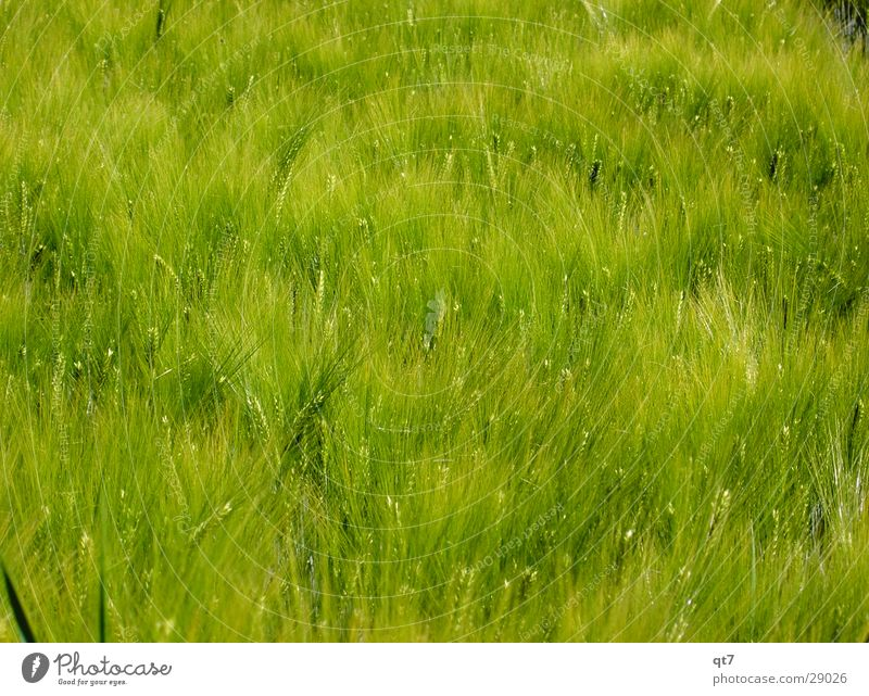 Green Summer Grass Field Food Growth Nutrition Hot Grain Feed Barley Flour