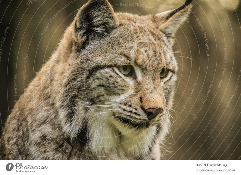 Lynx(uriös) Nature Beautiful weather Animal Wild animal Cat Animal face Pelt 1 Brown Yellow Gold Black White Game park Watchfulness Looking Whisker Concentrate