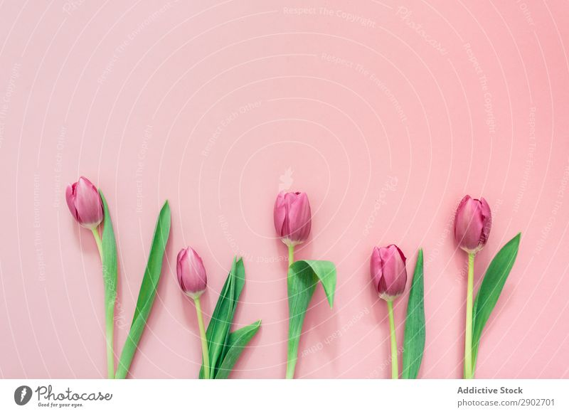 Pink tulips on clear background Tulip Flower Spring Floral Blossom Nature Bouquet Plant Green Blossom leave Leaf Beautiful Bright Natural Beauty Photography