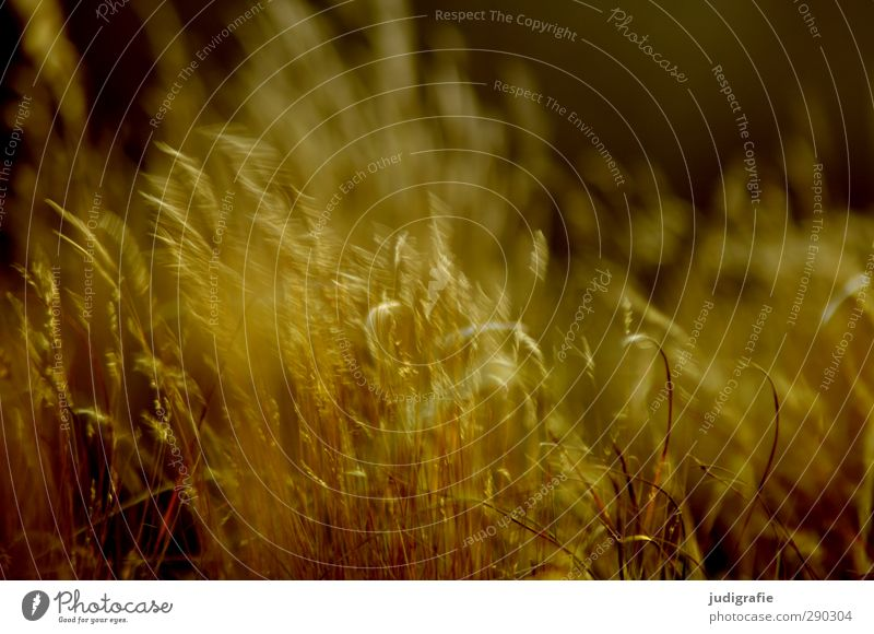 grass Environment Nature Plant Climate Wind Grass Coast Baltic Sea Movement Natural Warmth Wild Gold Moody Transience Colour photo Subdued colour Exterior shot