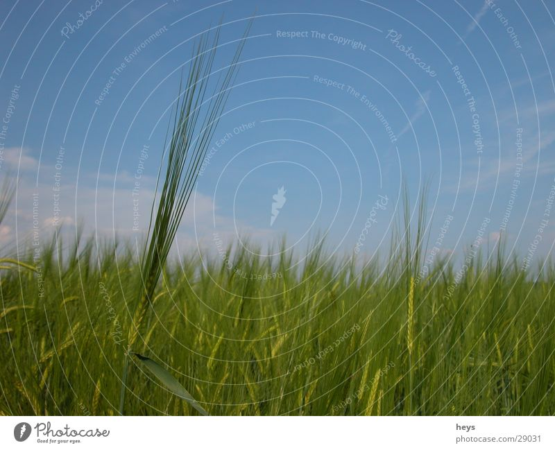 Sky Blue Meadow Grass Field Grain Blade of grass Cornfield Barley Barleyfield