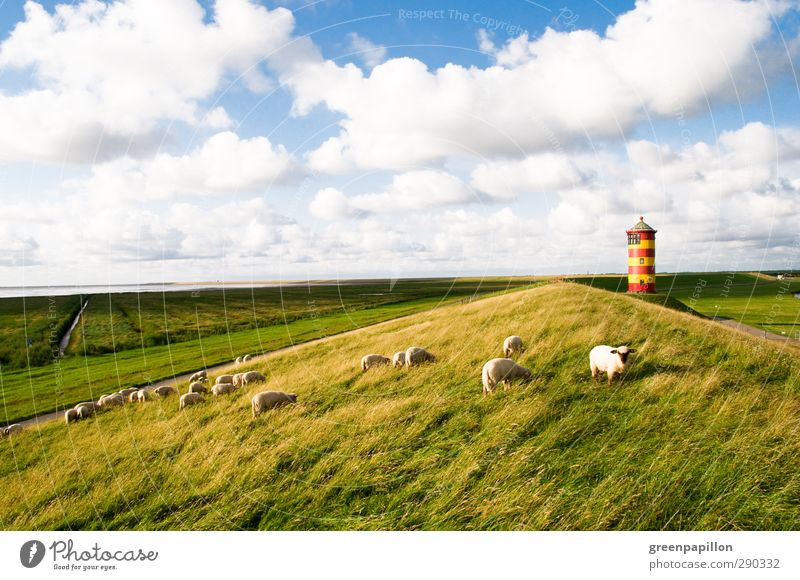 Flock of sheep on the coast at the Pilsum lighthouse Lighthouse Sheep crumhorns North Sea Greetsiel Dike Ocean Germany Lower Saxony Vacation & Travel Grass