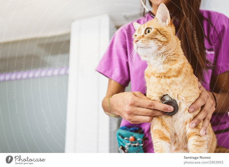 Veterinarian doctor is making a check up of a cute beautiful cat. Cat veterinary clinic Animal Doctor Nurse Healthy Pet Uniform Professional Work and employment