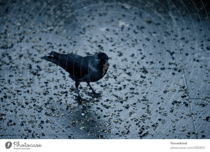 there.it.is. Bird Animal Black Raven birds Crow Wing Feather Beak Appetite Stone Asphalt Gray Dark Eerie