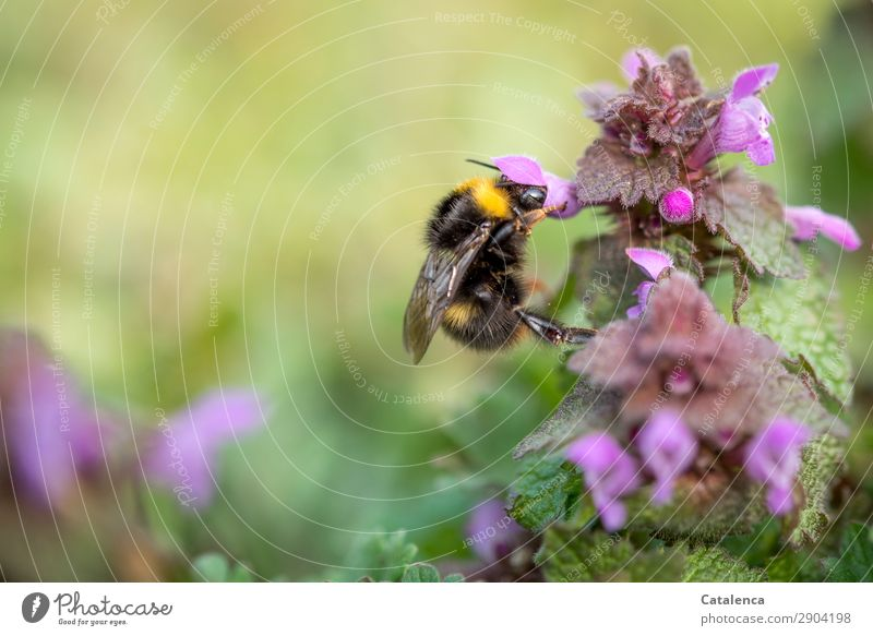 An insatiable bumblebee Nature Plant Animal Spring Flower Grass Leaf Blossom Foliage plant Wild plant Stinging nettle Dead-nettle Garden Meadow Insect