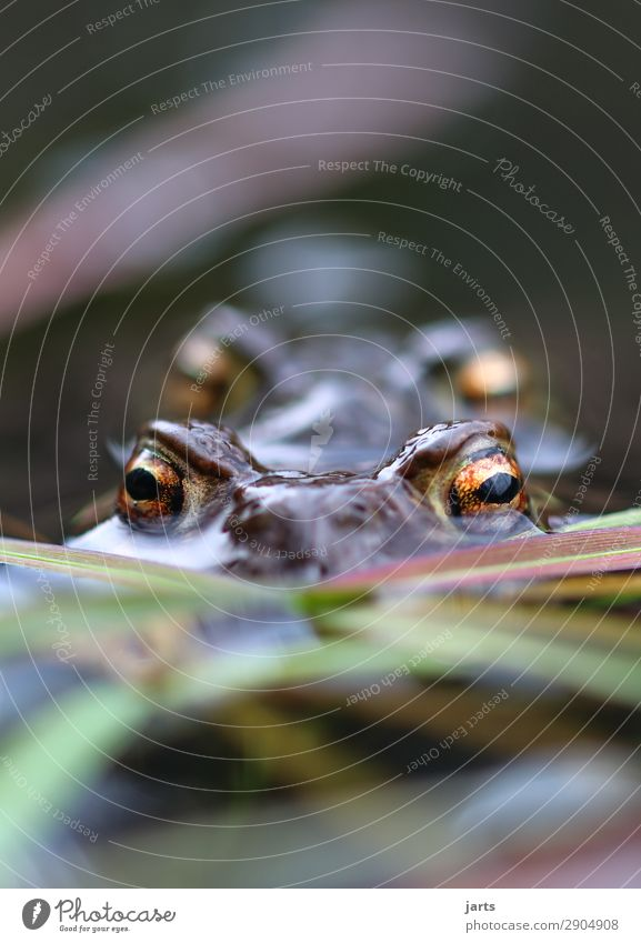 Big eyes Lakeside Animal Wild animal Frog 2 Pair of animals Swimming & Bathing Looking Nature Painted frog Eyes Colour photo Multicoloured Exterior shot
