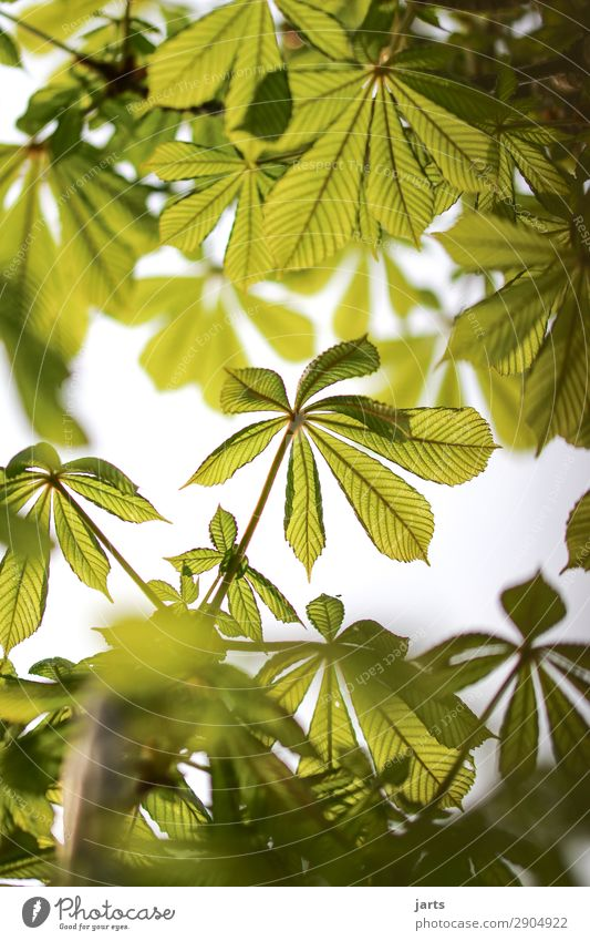 Nature Summer Plant Green Tree Leaf Forest Spring Natural Fresh Beautiful weather Chestnut tree