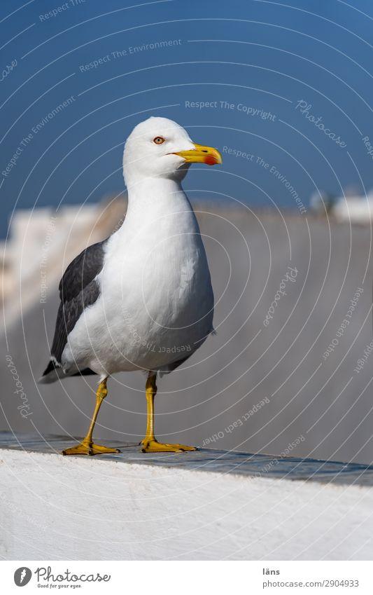 seagull Bird Seagull Wall (barrier) Sky Morocco Deserted