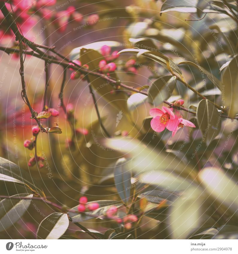 soon! Environment Nature Spring Plant Flower Bushes Leaf Blossom Garden Park Beginning Fragrance Exotic Peace Hope Dream Environmental protection Idyll Pink