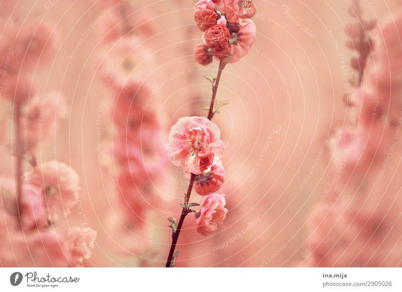 _ Environment Nature Spring Summer Plant Flower Blossom Garden Park Meadow Fragrance Elegant Fresh Natural Beautiful Feminine Pink Love Infatuation Romance Hope