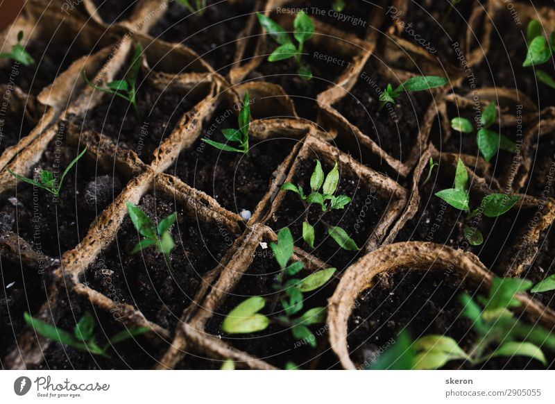 cucumber seedlings in peat pot Vacation & Travel Green Healthy Lifestyle Natural Business Garden Playing Work and employment Leisure and hobbies Elegant