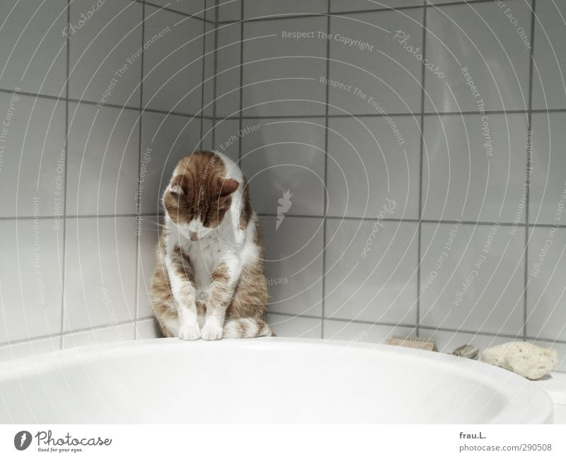 abysmal Animal Cat 1 Observe Looking Sit Fat pretty Clean Red White Cleanliness Friendship Domestic cat Bathtub Bathroom Tile Tiger skin pattern Colour photo