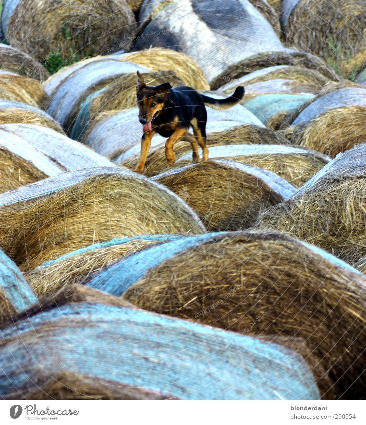 jumpers Landscape Field Animal Dog Animal tracks 1 Walking Loyalty Shepherd dog Hop Bale of straw Climbing Perspire Breathe Racing sports Nature Jump Curiosity