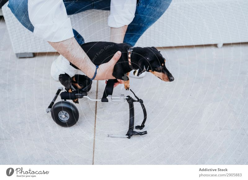 Man fixing wheelchair on dog Dog Wheelchair paralyzed Handicapped Dachshund disabled physical Relaxation Medication invalid Illness Domestic Pet Animal Help