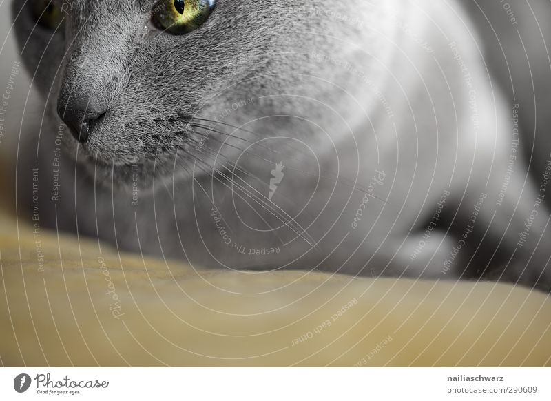 cat Animal Pet Cat russian blue 1 Observe Relaxation Looking Happiness Beautiful Cuddly Soft Blue Yellow Contentment Sympathy Love of animals Attentive Calm