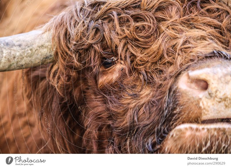 They called him Locke. Animal Farm animal Cow Animal face Pelt 1 Brown Orange Black Cattle Highland cattle Curl Snout Muzzle Antlers Herd Agriculture Livestock