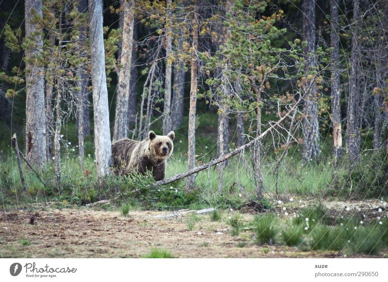honey bear Hunting Environment Nature Landscape Animal Elements Earth Tree Meadow Forest Pelt Wild animal 1 Observe Authentic Exceptional Threat Curiosity