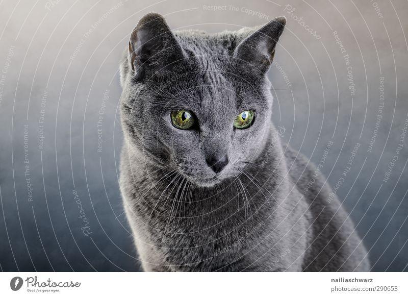 Portrait of a cat Animal Pet Cat 1 Observe Discover Glittering Illuminate Looking Dream Elegant Friendliness Beautiful Cuddly Curiosity Cute Positive Blue Gray